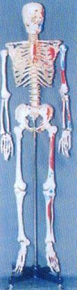 人體解剖模型|168CM高男性透明胸骨人體骨骼模型 GD-0101G5