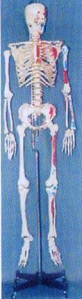 解剖模型|**男性透明胸骨左邊肌肉著色編碼人體骨骼模型 GD-0101G6