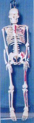 人體骨骼模型|**上等全可分軟脊椎左邊肌肉著色編碼人體骨骼模型 GD-01141