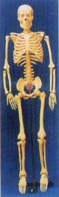 人體解剖模型|85CM人體骨骼模型 GD-0111B