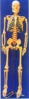 人體骨骼模型|人體骨骼帶脊椎神經、可分椎間盤模型 GD0101G10