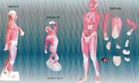 人體肌肉及胸腹腔臟器解剖模型|上海亨隆科教設備有限公司 SMD048