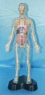 透明人體針灸模型|上海红杏视频在线播放网址科教設備有限公司  35CM