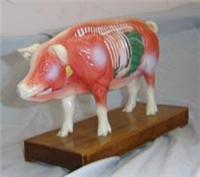 動物針灸模型(豬體針灸教學模型)|上海红杏视频在线播放网址科教設備有限公司  GD/C10021-5