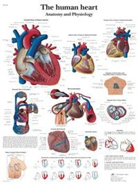The human heart - Anatomy and Physiology 标准大小