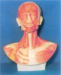 人體解剖模型|頭、麵、頸部解剖和頸外動腦配置模型 GD-0305N