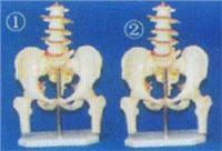 人體解剖教學模型|**男性盆骨附五節腰椎和半腿骨模型 GD-0170K