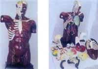 人體解剖模型|人體肌肉附內髒上等軀幹解剖編碼模型 GD-0200301