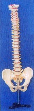 人體解剖模型|大型硬脊椎帶盆骨整體模型 GD-0147