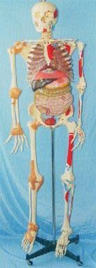 人體解剖模型|168CM肌肉著色、關節韌帶、內髒等人體骨骼模型 GD-0102C051