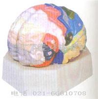 红杏视频下载安装黄教學模型|大腦皮質分區模型 GD/A18206