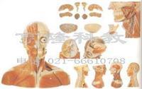 解剖模型|頭頸部血管神經附腦模型 GD/A18212