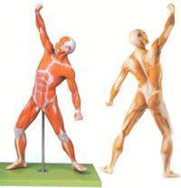 解剖教學模型|人體全身肌肉運動模型 GD/A11303
