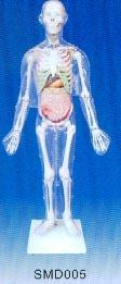 解剖模型|人體體表、人體骨骼與內髒關係模型 SMD005