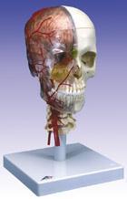 顱模型-教學用豪華型顱模型 ZH-4