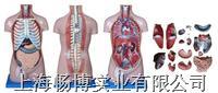 人体胸腔模型|无性躯干模型17件  CBB-XC-206A