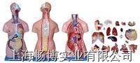 医学模型|三性躯干模型21件 CBB-XC-204A