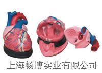 大心脏解剖模型  XC-307