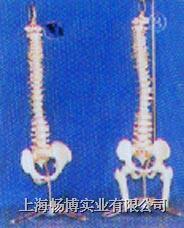 小型硬(软)脊椎带盆骨、半腿骨挂座豪华模型 GD-0146B/GD0146D