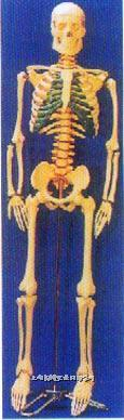 人体骨骼带脊椎神经、可分椎间盘模型 GD-0113A