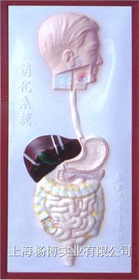 解剖模型|医学解剖模型|人体解剖模型|医学模型之消化系统浮雕模型 CLM2079-4