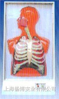 电动医学教学模型|人体呼吸运动电动模型 SME08