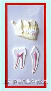 口腔教学模型|牙列与牙解剖浮雕模型 CLM2079-12
