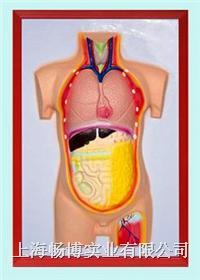 人体脏腑教学模型|人体内脏浮雕模型 CLM2079-13