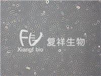 IEC-18 大鼠回腸細胞 CRL-1589