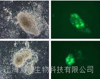 美國MEFs Oct4-GFP報告基因小鼠胚胎成纖維細胞 PCEMM03