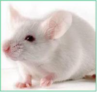 小鼠單克隆抗體定制服務